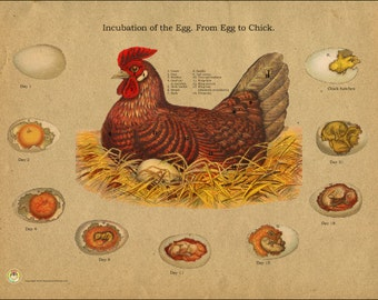 "Chicken Egg Incubation Anatomy Poster - 18"" X 24"""