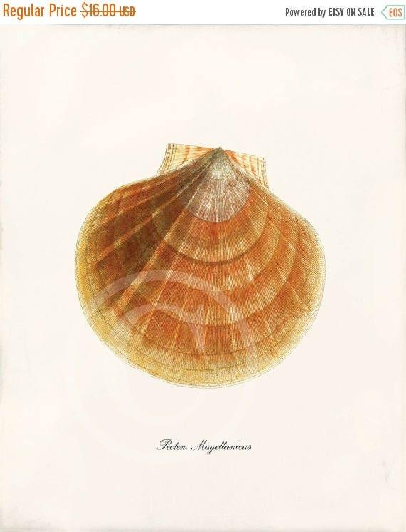 SPRING SALE Vintage Shell Print  - 8 x 10 - Pecten Magellanicus