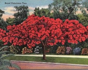 Florida, Royal Poinciana Tree - Vintage Postcard - Linen Postcard - Unused (D)