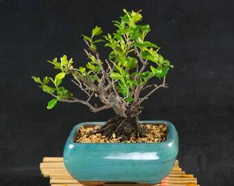 Fruiting Sageretia Theezans Mame Shohin Bonsai Tree - Bird Plum # 2568