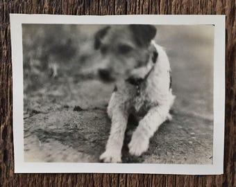 Original Vintage Photograph Tinker the Terrier