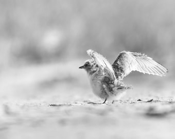 Baby Bird Photo, Least Tern, Ready to Fly, Nesting Birds, Shore Birds, Wildlife Photo, flying, nature photography - fine art photograph
