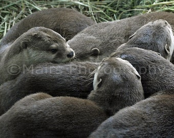 Nursery Decor, River Otter Kits Cute Animal Photography, Child's Room, Nature, Fine Art Photography matted & signed 5x7 Original  Photograph