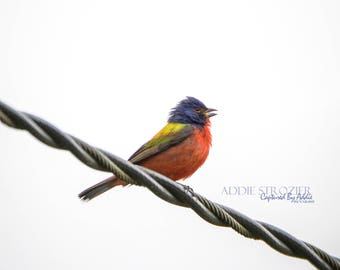 Painted Bunting Bird Photography Print Wall Art Nature Landscape Gallery Art