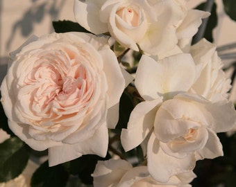 Honeymoon ™ Arborose ® Climbing Rose Bush Rose Own Root Potted - Own Root Non-GMO Cream Flowers - SPRING SHIPPING