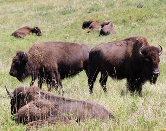 Buffalo, Buffalo Prints,  Bison, Old West, Buffalo Herds, Wildlife , Buffalo Art, Buffalo taking life easy - 8 x 10 Photograph