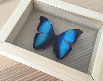 Morpho Butterfly // Taxidermy Butterfly // Real Butterfly // Framed Butterflies // Preserved Butterfly // Blue Banded Morpho