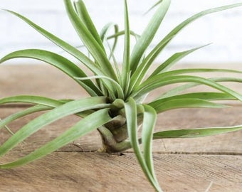 3 Capitata Air Plants - FREE SHIPPING
