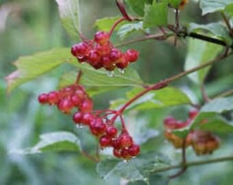 TS) HIGH BUSH Cranberry Bush/Tree~Seeds!!!~~~~~Wonderful For Winter Birds!