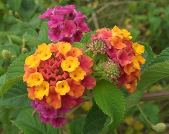 PBLN)~MIXED LANTANA~Seeds!~~~~~~A Neon Rainbow!