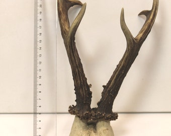 Horns of roe deer with a portion of the skull / hunters, animals / interior decoration. Vintage Latvia.