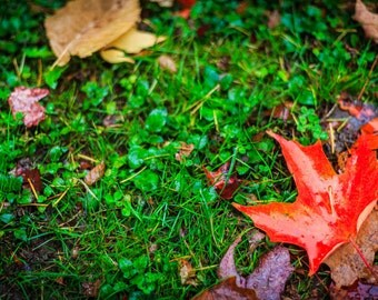 Leaf Photograph, Wall Decor, Orange, Grass, Fine Art Print, PDX, Canvas, Metal, Artwork, Image, Colorful, Red, Autumn, Dew, Fall Leaves