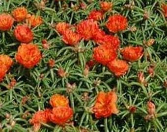 Moss Rose- Orange- Portulaca - 200 Seeds