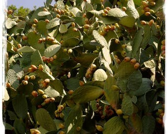 Opuntia ficus-indica 'Prickly Pear' 'Barbary fig' 15+ SEEDS