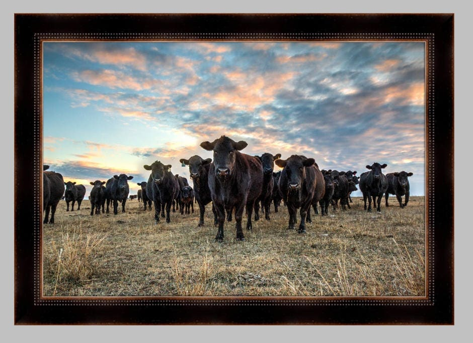 cattle photo angus at sunset western art black angus cattle wall decor - Western Wall Decor