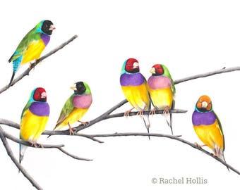 "Gouldian Finch Print  - 5x7"" Gouldian Finches on branch - Australian Bird Print - Finch Print - Nursery Print"