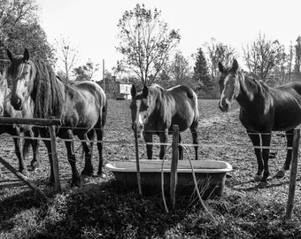 Horse photography, Black and White Print, Horses in a Field Photo, Farm Animal Picture, Equine Photograph, Equestrian Wall Art Decor, Ponies