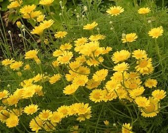 Marguerite Daisy Yellow Flower Seeds (Anthemis Tinctoria Kelwayi) 100+Seeds