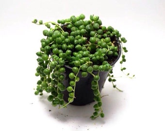 String of Pearls - Senecio rowleyanus