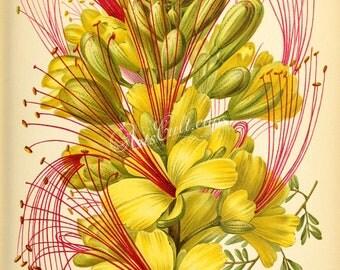 flowers-29351 - poinciana gilliesii, Caesalpinia gilliesii, bird of paradise bush digital yellow flower picture high resolution image design