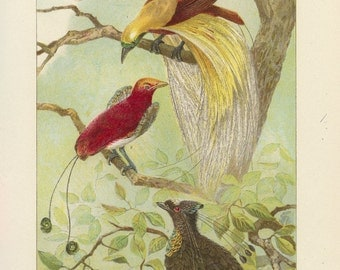 Vintage 1907 Book Plate — Birds of Paradise