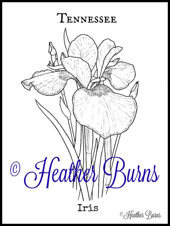 Coloring page iris tennessee state flower adult for Iris flower coloring page