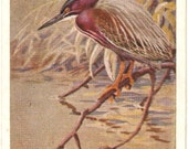 Vintage Bird Postcard Green Heron -  National Audubon Society Educational card, Allan Brooks