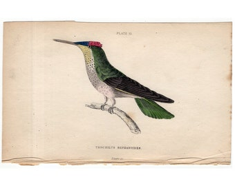 RESERVED  for LEON - 1834 HUMMINGBIRD colibri - hand colored engraving - original antique print - Jardine bird - trochilius sephanoides
