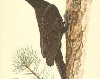 1953 Black Woodpecker - Dryocopus martius Vintage Offset Lithograph