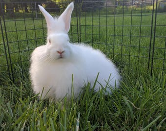 White German angora rabbit fiber