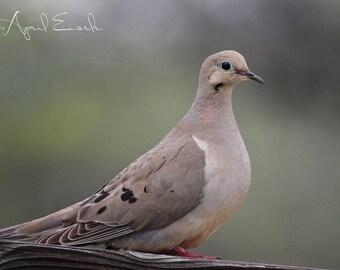 Mourning Dove Photo, Mourning Dove, Dove Photo, Bird Photography