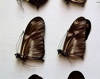 Wholesale 6 x Heliconius Mixed - Taxidermy - Unmounted - Ready To Rehydrate - Artwork