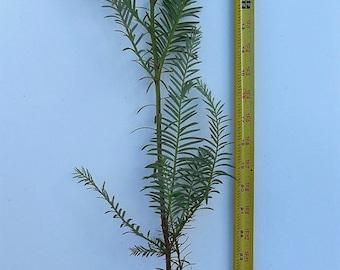 "Coast Redwood Tree 28"" - 36"" Tall - Landscape Tree Screen - Sequoia Sempervirens"