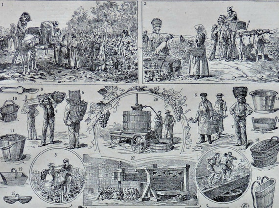 Viticulture print. Wine production. Old book plate, 1922. Antique  illustration. 94 years lithograph. 8'1 x 11'4 inches.