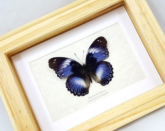 FREE SHIPPING Hypolimnas Salmacis Blue Diadem A1- Quality Unique Butterfly REAL Framed Taxidermy Mounted Spread