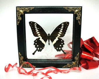 Central Emperor Swallowtail Butterfly or Papilio Lormieri in double glass frame curiosity real moth insect taxidermy bug framed entomology