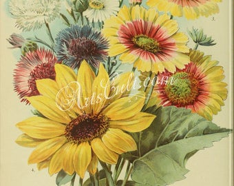 flowers-32258 - Corn-Flower False Chamomile Blanket Flower Perennial Sunflower helianthus multiflorus maximus printable vintage pictures jpg