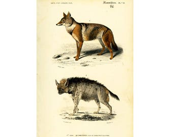 1861 Antique Coyote Lithograph by Orbigny, French naturalist, Original Antique Print, 19th century zoology, Animals, Wildlife