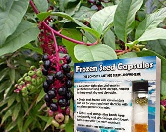 Pokeweed Seeds (Phytolacca americana) 30+ Organic Heirloom Seeds in Frozen Seed Capsules  for Seed Saving or Planting Now