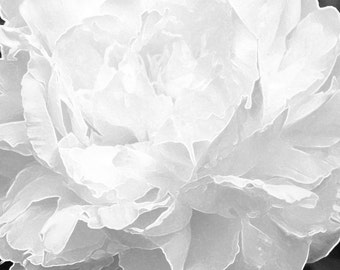 Peony Photograph, Photo, Home Decor, Wall Art, Fine Art, Gift, JC Rivers, 8x10, Print, Flower Picture, Garden Art, Art