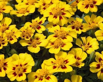 Flower seeds Marigold Legion of Honor#993
