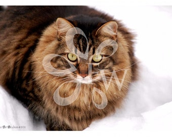 Maine Coon - Photographic Print