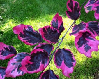 Tricolor European Beech - Stunning Purpe, Pink and White Leaves. 3 - Year Live Plant