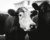 Cow Photograph - Farm Photography - Black and White Image - Fine Art Photograph - Cute Animal