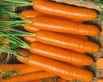 50  Little Fingers Non-Gmo Carrot Seeds