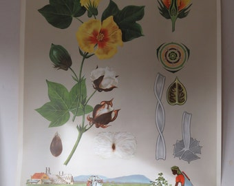 Original vintage pull or roll down school educational wall chart of the COTTON plant and harvest. BOTANICAL