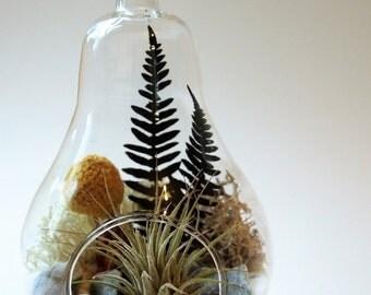 Pear shape air plant terrarim with dried fern :unique gift; tillandsia; air plant;terrarium;office decor