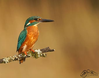 Kingfisher, Perched