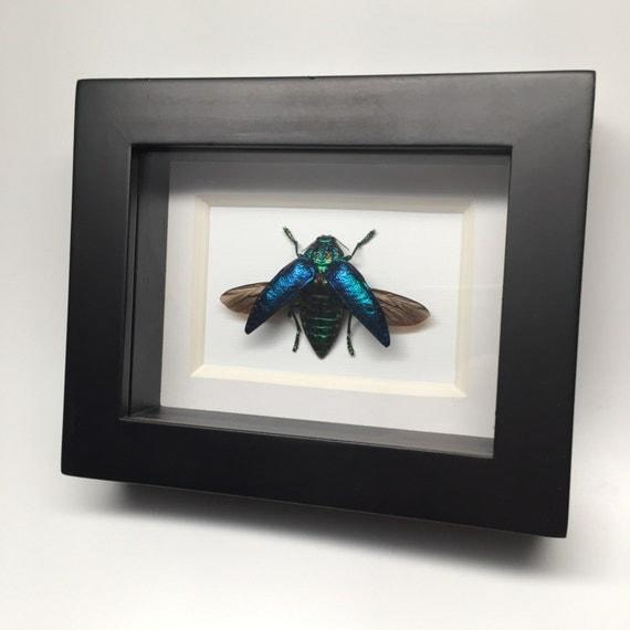 Blue rainbow jewel beetle