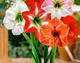 Amaryllis flower healthy bulbs, mix color